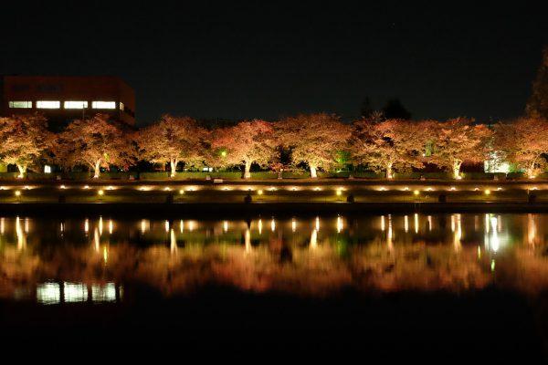 桜並木のライトアップも幻想的で絵になります。
