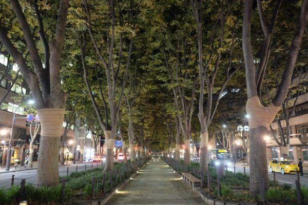 定禅寺通りのケヤキ並木。イルミネーションの季節が良かった…