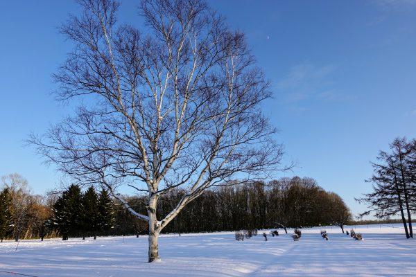 白樺の木が青い空と白い雪に映えますね。